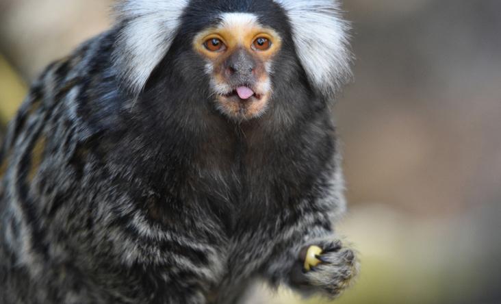 Khỉ marmoset