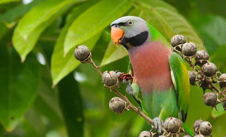 Vẹt xanh cổ đỏ