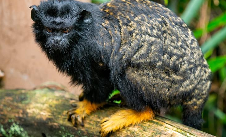 Khỉ Tamarin tay vàng