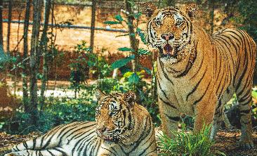 Đến gần hơn với loài Hổ Bengal