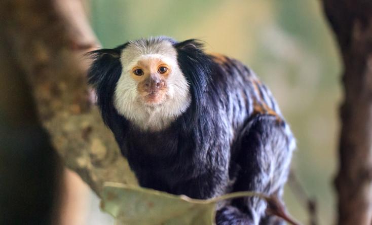 Khỉ Mamoset tai đen