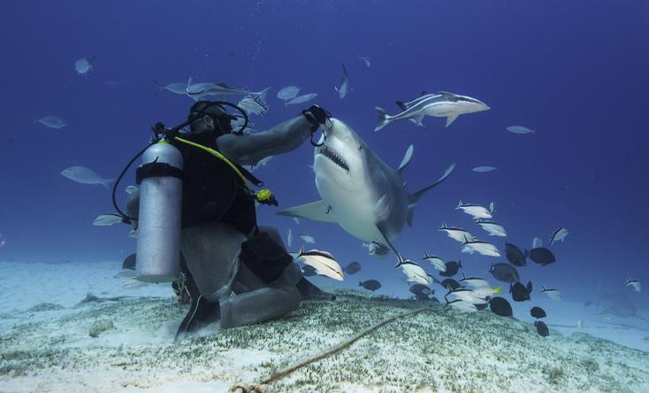 Cho cá mập ăn